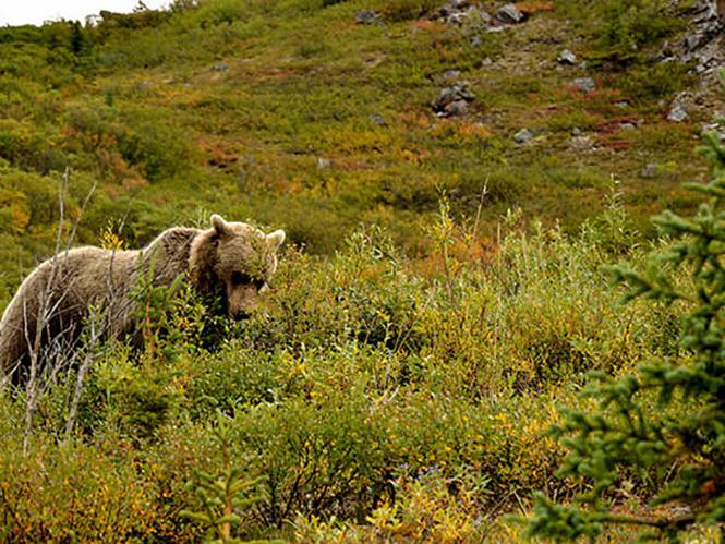 Αρκούδα σκοτώνει φωτογράφο που προσπάθησε να την πλησιάσει για φωτογραφίες!