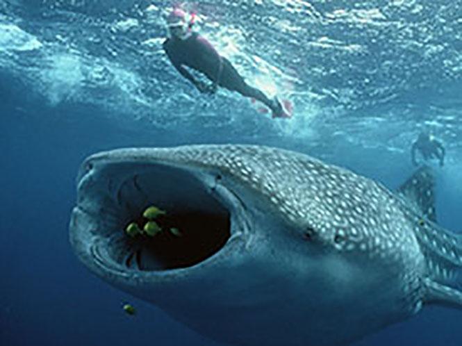 Φωτογραφίζοντας τον μεγαλύτερο καρχαρία του κόσμου