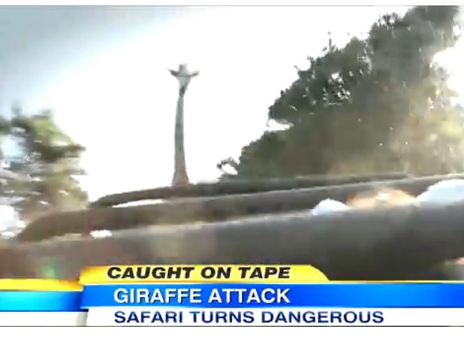 Καμηλοπάρδαλη αποδεικνύεται επικίνδυνο φωτογραφικό θέμα για σαφάρι στην Αφρική