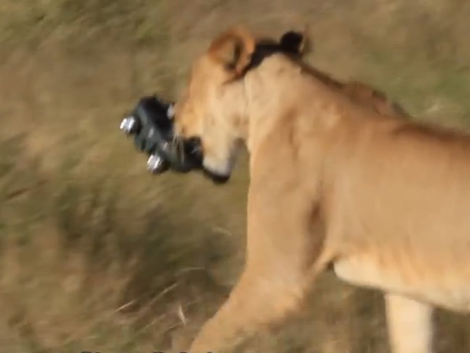 GoPro, αντέχει στα δόντια λέαινας και στο πάτημα ελέφαντα