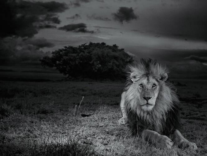 Το National Geographic φωτογραφίζει λιοντάρια με ρομπότ, drones και υπέρυθρο φως
