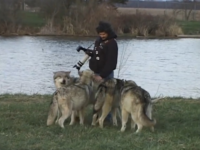 Φωτογράφος έρχεται σε άμεση επαφή με αγέλη λύκων