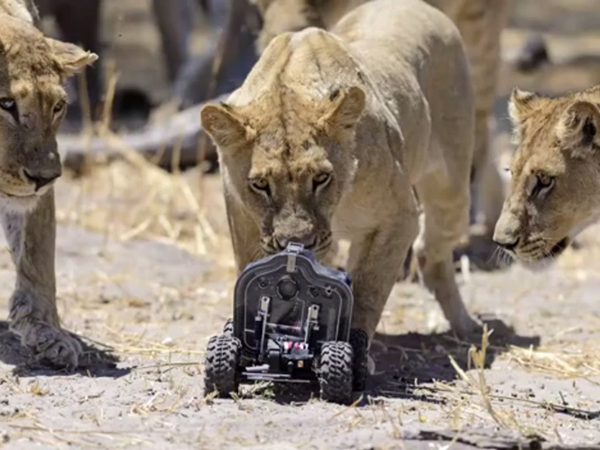 """Αγέλη λιονταριών την """"πέφτει"""" σε τηλεκατευθυνόμενο όχημα που μεταφέρει μία Nikon D800"""