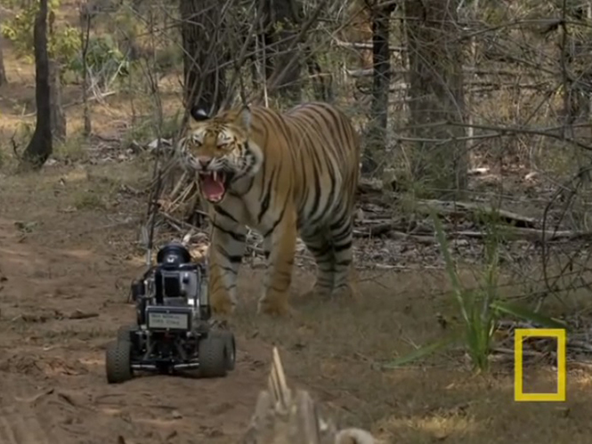 Φωτογράφος του National Geographic φέρνει τη μηχανή του μέσω robot σε απόσταση αναπνοής από περίεργη τίγρη