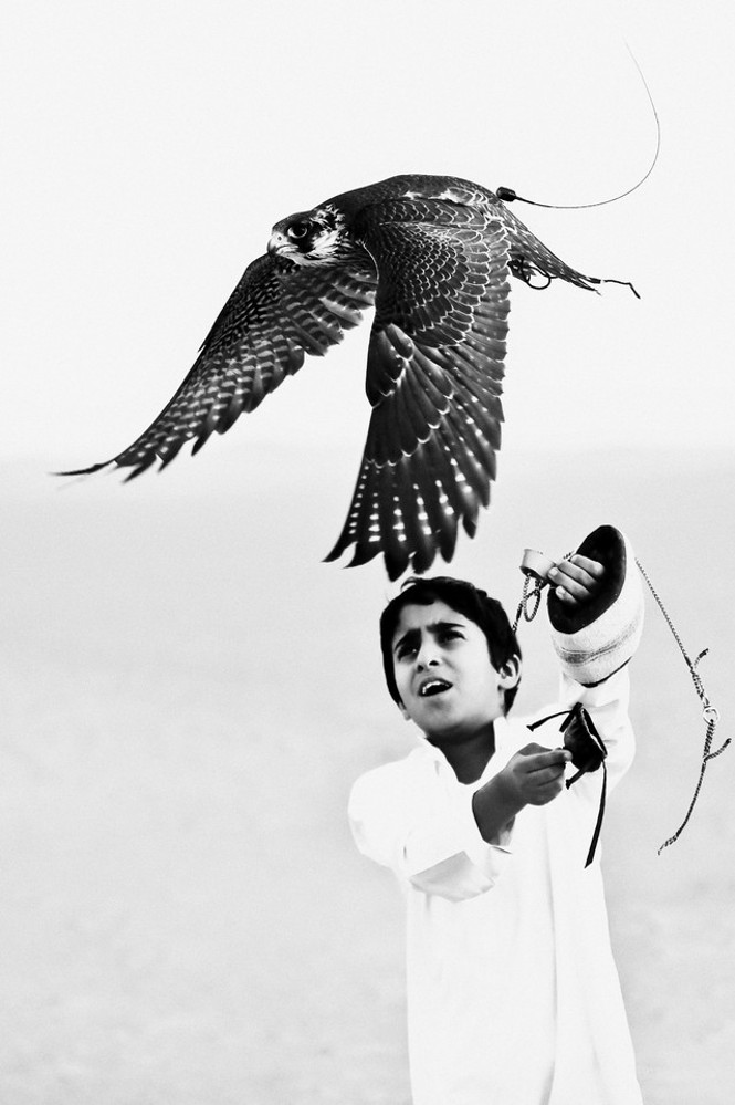 Emirates Photography Competition little falcon