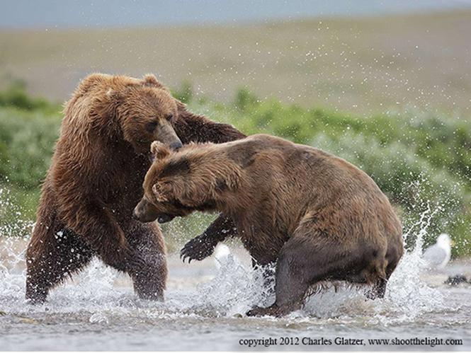 Life in Focus, κυνηγώντας τις αρκούδες Grizzly με τον Charles Glatzer