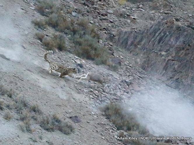 Φωτογράφος καταφέρνει να απαθανατίσει λεοπάρδαλη του χιονιού να σκοτώνει θήραμα