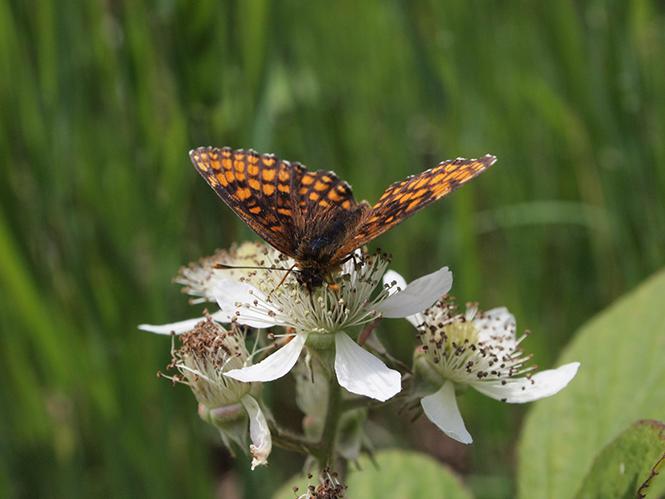 Heath Fritillary Butterfly, East Blean Woods, Kent, Αγγλία