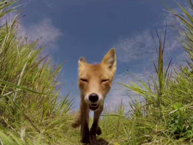 H GoPro λειτουργεί ακόμα και όταν την μασουλίσει μία αλεπού