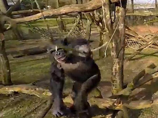 Χιμπατζής καταρρίπτει drone με αντι-αεροπορικό κλαδί
