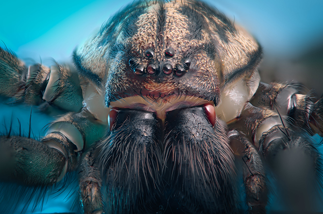 House Spider (front)