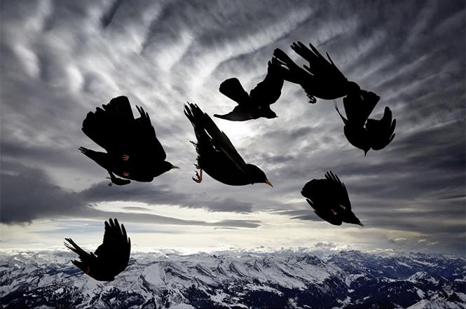 Acrobats of the Air, (ένα σμήνος πουλιών Pyrrhocorax graculus στην Ελβετία), Alessandra Meniconzi