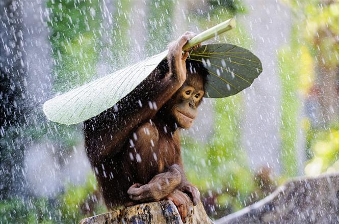 Orangutan in the Rain (ένας ουρακοτάγκος στη βροή στην Ινδονησία), Andrew Suryono