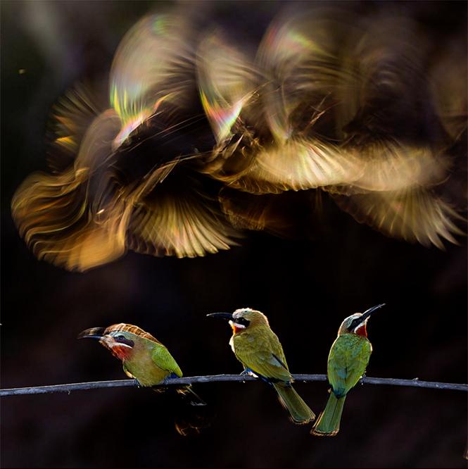 Colorful Chaos (μελισσοφάγοι στη Νότιο Αφρική, σε ένα κλαδί, με μερικούς να πετάνε από πάνω και τα φτερά τους να αποκτούν τα χρώματα του ουράνιου τόξου), Bence Mate