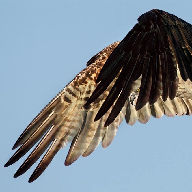 Osprey. Photo: Dick Dickinson/Audubon Photography Awards