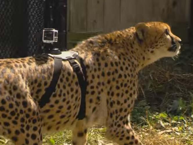 Ένας γατόπαρδος (cheetah) με μία GoPro στη πλάτη του