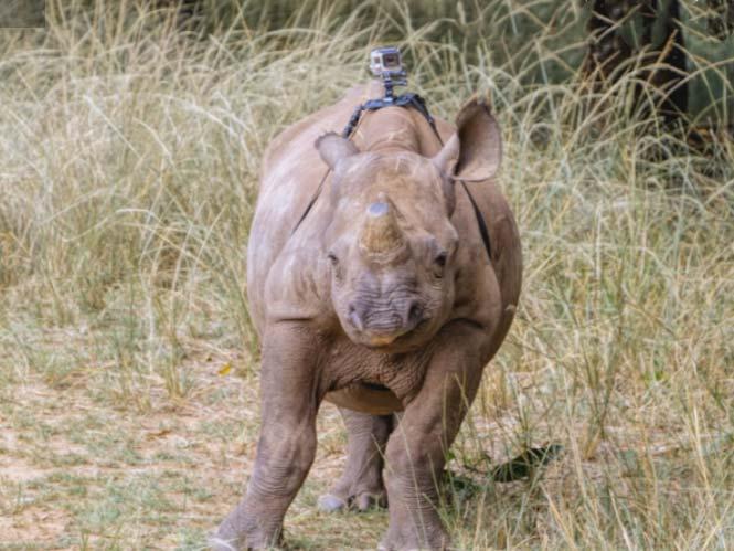 Θορ: Ένας μαύρος ρινόκερος με μία GoPro στη πλάτη του