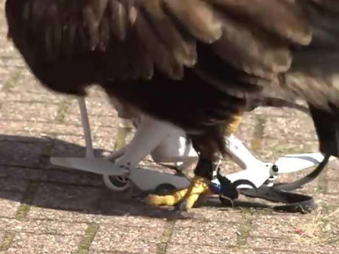 Αετός της Ολλανδικής Αστυνομίας έτοιμος να καταρρίπτει drone