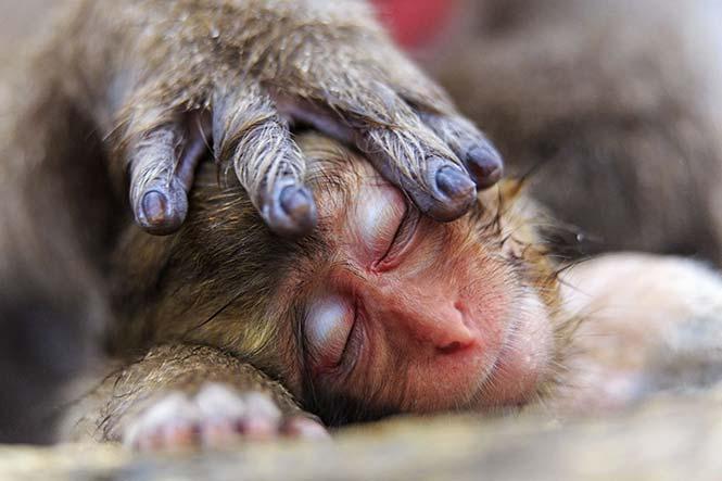 Το χέρι της μητέρας μία μικρής μαϊμούς του γένους Μακάκος. Alain Mafart Renodier, Γαλλία