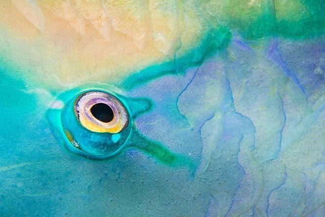 Το μάτι ενός παπαγαλόψαρου κατά τη διάρκεια μίας νυχτερινής κατάδυσης. Ally McDowell, Η.Π.Α., Ηνωμένο Βασίλειο