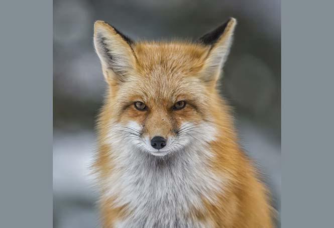 Μία αλεπού στο Κολοράντο των Η.Π.Α. Annie Katz, Η.Π.Α.