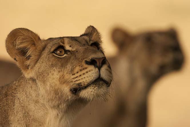 Δύο λέαινες, αδερφές, μυρίζουν ένα αρσενικό που έχει μαρκάρει την περιοχή, στη Νότιο Αφρική. Bernd Wasiolka, Γερμανία