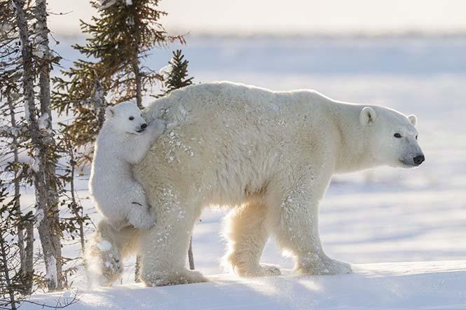 Μία μικρή πολική αρκούδα σκαρφαλώνει στη μητέρα της για να αποφύγει το βαθύ χιόνι. Daisy Gilardini, Ελβετία