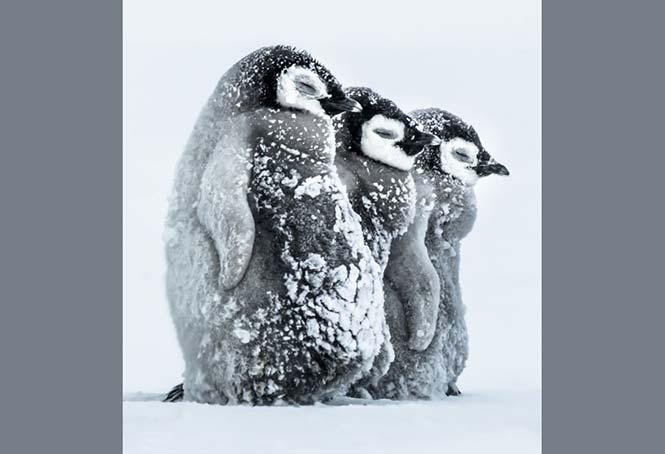 Μωρά αυτοκρατορικού πιγκουίνου στην Ανταρκτική. Gunther Riehle, Γερμανία