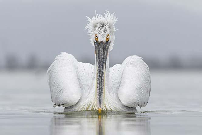 Ένας Πελεκάνος της λίμνης Κερκίνης. Guy Edwardes, Ηνωμένο Βασίλειο