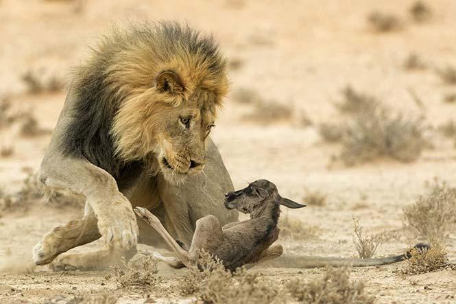 Ένα μωρό γκνου γίνεται τροφή για ένα λιοντάρι την ίδια ημέρα που γεννήθηκε. Johan Kloppers, Νότιος Αφρική