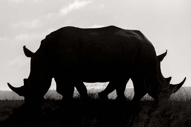 Δύο λευκοί ρινόκεροι στη Νότιο Αφρική. Rudi Hulshof, Νότιος Αφρική