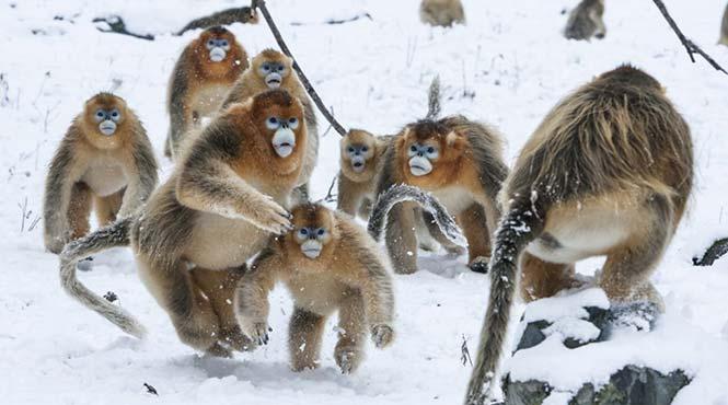 Μία ομάδα μαϊμούδων του γένους  golden snub-nosed κάπου στη Κίνα. Stephen Belcher, Νέα Ζηλανδία