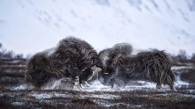 Δύο βόδια στη Νορβηγία που μαλώνουν. Tapio Kaisla, Φιλανδία