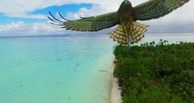Bird attack in French Polynesia by Actua Drone