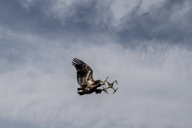 Ένας αετός, εκπαιδευμένος από την εταιρεία ασφαλείας Guard from Above της Ολλανδίας, πιάνει ένα drone, 31 Μαΐου 2016. Andrew Testa—The New York Times/Redux