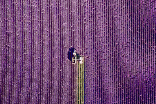 Fields of Lavender in Valensole, Provence, France by jcourtial