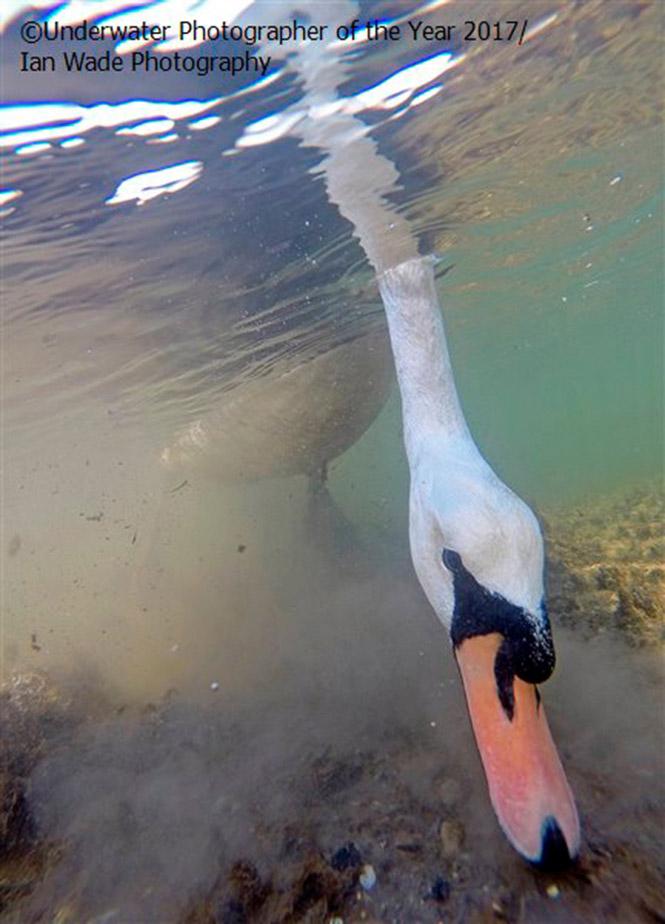 British Waters Compact THIRD: Mute Swan feeding underwater. by Ian Wade Photography