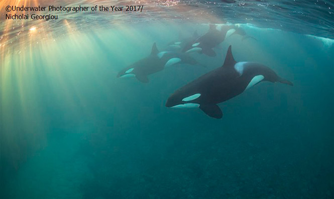 Up and coming British Underwater Photographer of the Year, 2017: Orca Pod by Nicholai Georgiou
