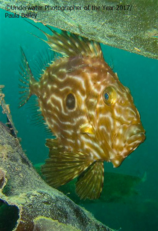 British Waters Compact RUNNER UP: John Dory in the weed by Paula Bailey