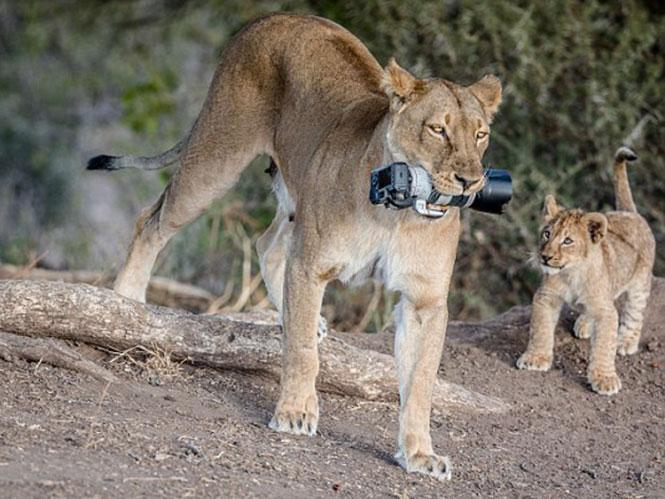 Λέαινα κλέβει φωτογραφική μηχανή 2.500 ευρώ και την δίνει στα κουτάβια της