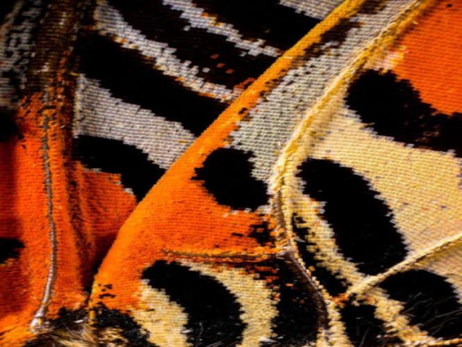 Μακρο – φωτογραφία σε φτερά πεταλούδας με 2100 λήψεις ανά εικόνα