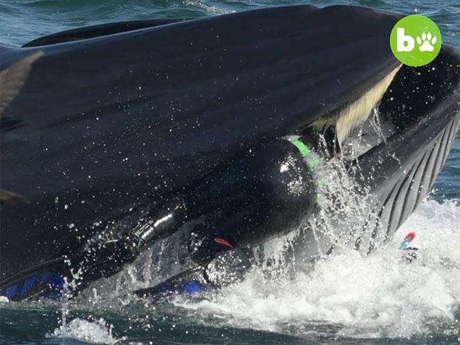 Φάλαινα ρούφηξε και έφτυσε δύτη που βρέθηκε στο δρόμο της