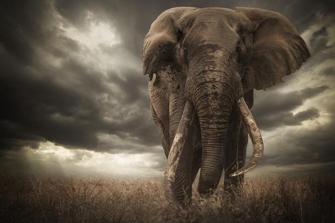 Αποκλείστηκε ο νικητής διαγωνισμού φωτογραφίας άγριας ζωής για τα αυτιά ενός ελέφαντα