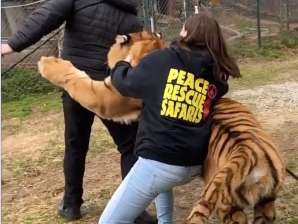 """Φωτογράφος δέχεται """"επίθεση"""" από τίγρη on camera!"""