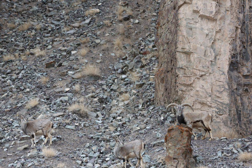 Φωτογράφος καταγράφει την Λεοπάρδαλη του χιονιού και εσύ θα την εντοπίσεις με μεγάλη δυσκολία