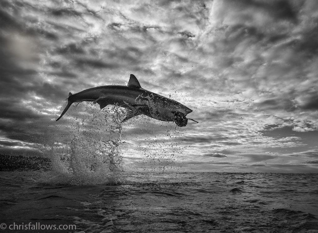 Καταγράφοντας ένα λευκό καρχαρία σε άλμα – ρεκόρ 4.5 μέτρων εκτός νερού! Τι λέει ο φωτογράφος που τον φωτογράφισε στον αέρα!