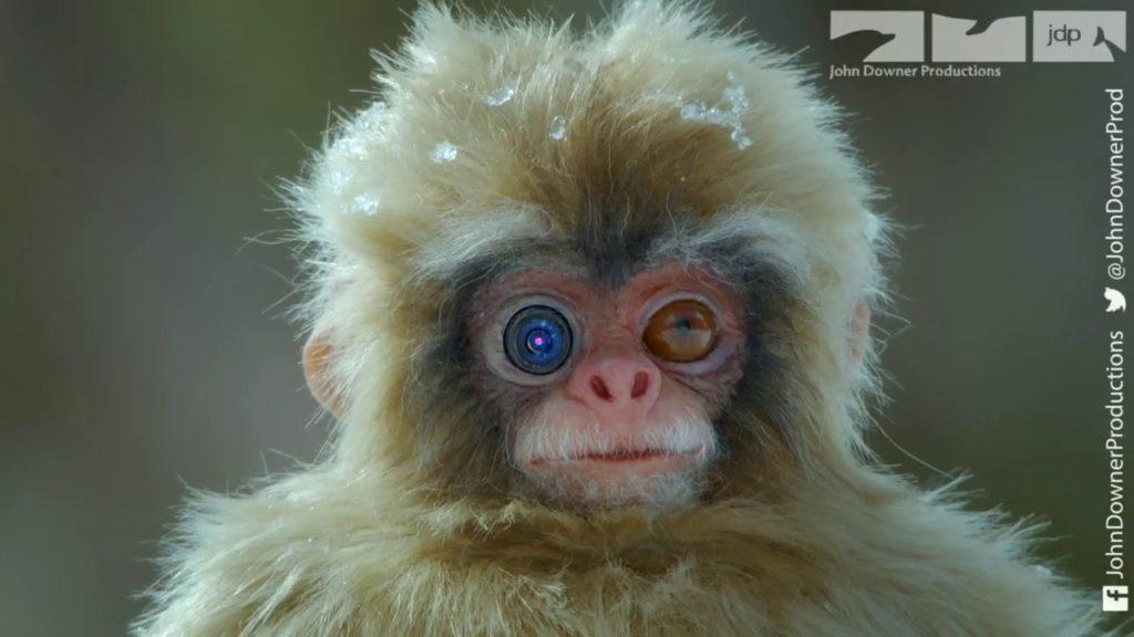 Spy Creatures: Μαϊμού – ρομπότ και χιονόμπαλα κάμερα καταγράφουν τις μαϊμούδες του χιονιού στην Ιαπωνία!