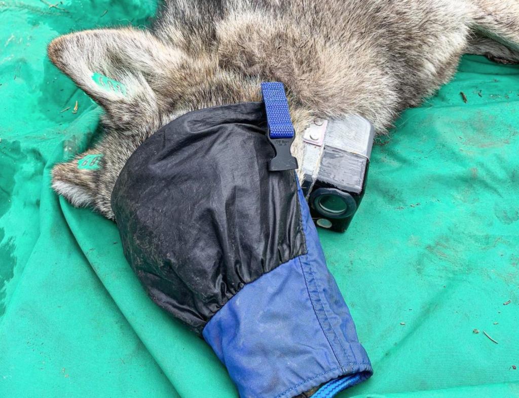 Τα πρώτα πλάνα από την ζωή ενός άγριου λύκου (βίντεο)